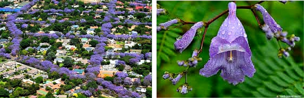 Pretoria Car Hire - Jacaranda Blossom