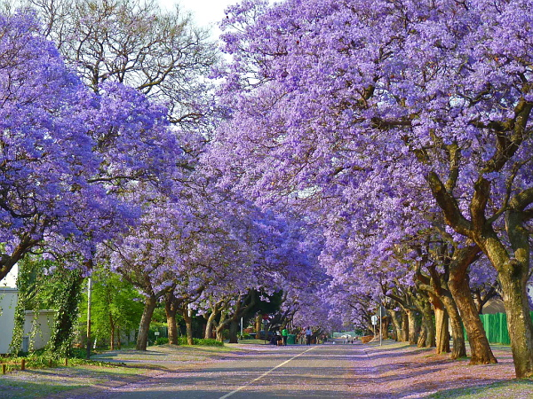 Pretoria Car Hire - Jacaranda avenue of blossom