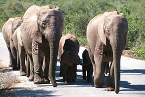 A Herd of Elephants - Johannesburg Airport car hire