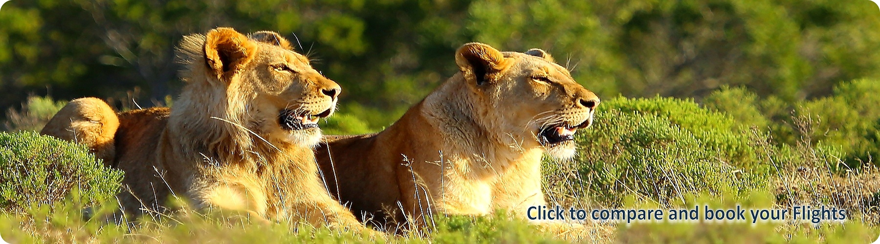 Phalaborwa-Lions.